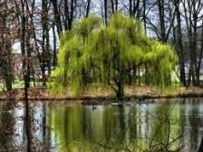 weepingwillow2
