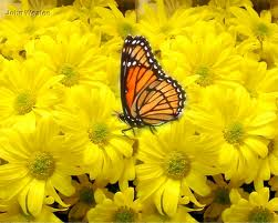 Butterflies_Daisies