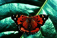 Kamehameha Butterfly: State insect of Hawaii