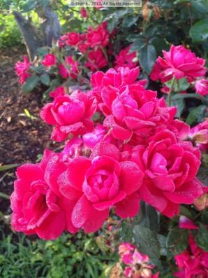 Rose2bySkye