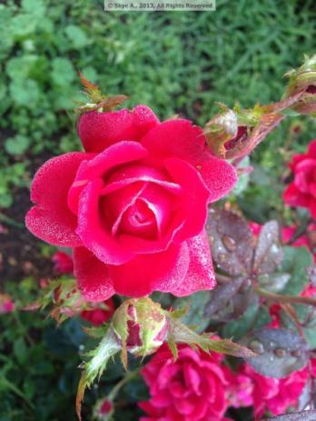 Rose3bySkye