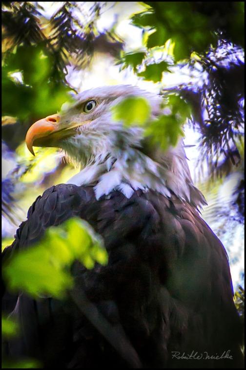 eagle_sneak-peek