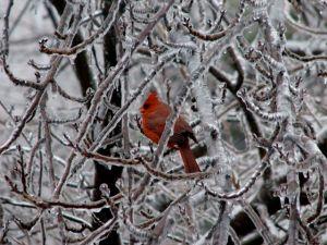 Ice-Cardinal