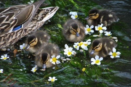 Fluffy Ducklings @ A Mixed Bag