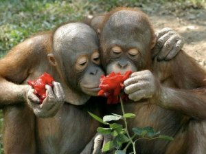 chimp_smell_roses