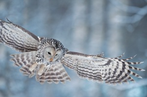 owl-in-flight1